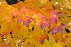 Autumn Leaves Courtesy of Mark Nickerson